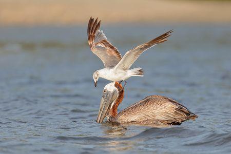 brown-pelican-with-gull-feeding_b8r9292-alafia-banks-gibsonton-fl-usa1.jpg