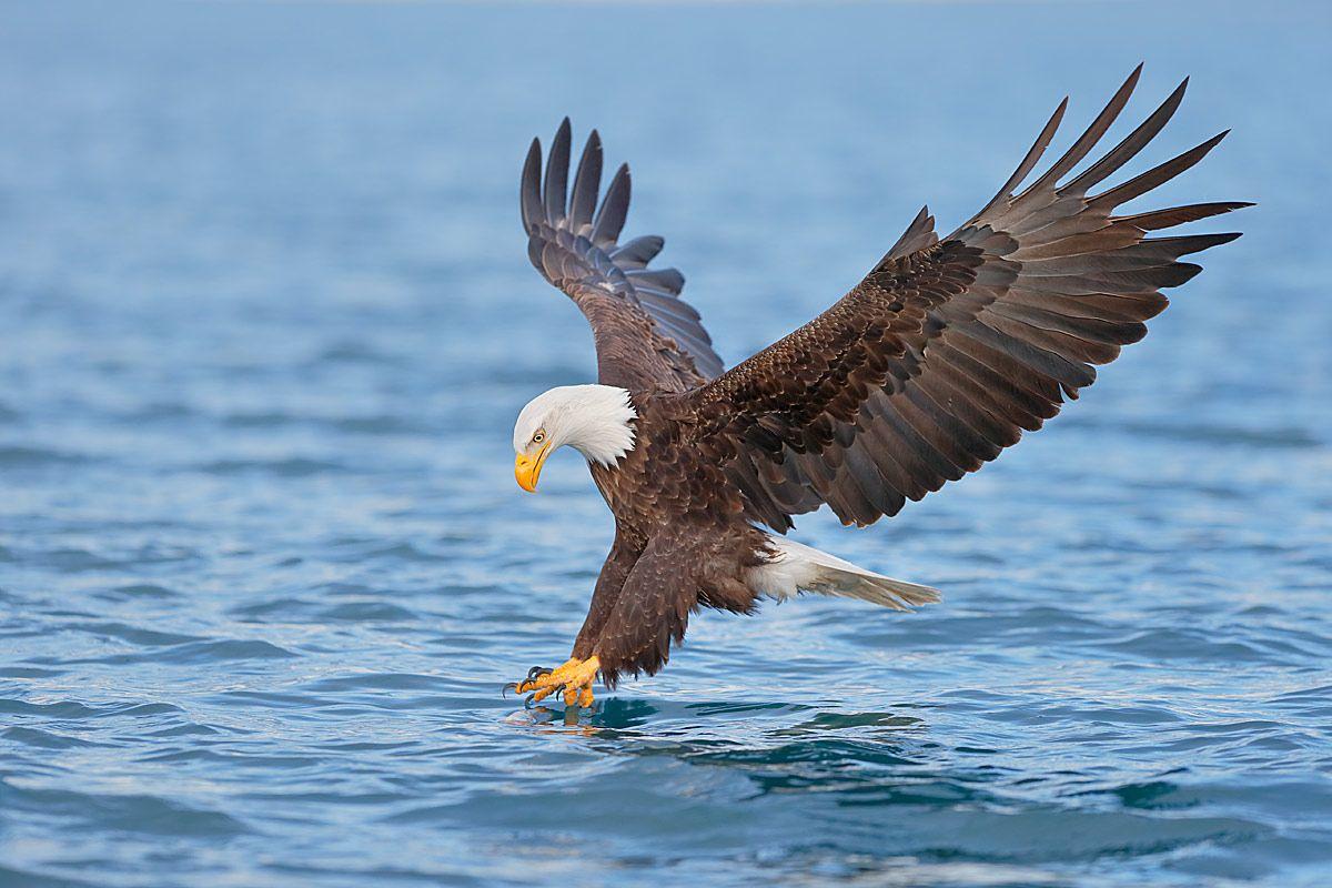bald-eagle-claws-touching-water_b8r7932-kachemak-bay-homer-alaska-usa.jpg