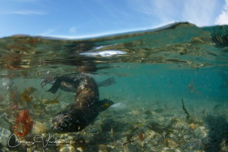 fur-seal-baby-swimming-by-underwater_s6a3222-stromness-south-georgia-island.jpg