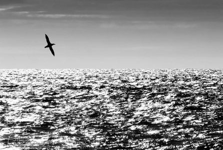 gaint-southern-petrel-flying-above-the-waves-silhouette_bw_a3i4182-scotia-sea-southern-ocean.jpg