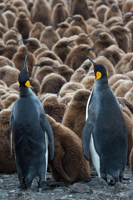 King-Penguins-overlooking-the-Oackum-Boys_E7T4009-Fortuna-Bay-South-Georgia-Islands.jpg