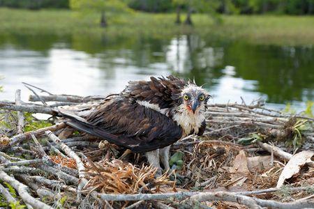 osprey-with-wounds-on-nest-ii_s6a7044-lake-blue-cypress-fl-usa.jpg
