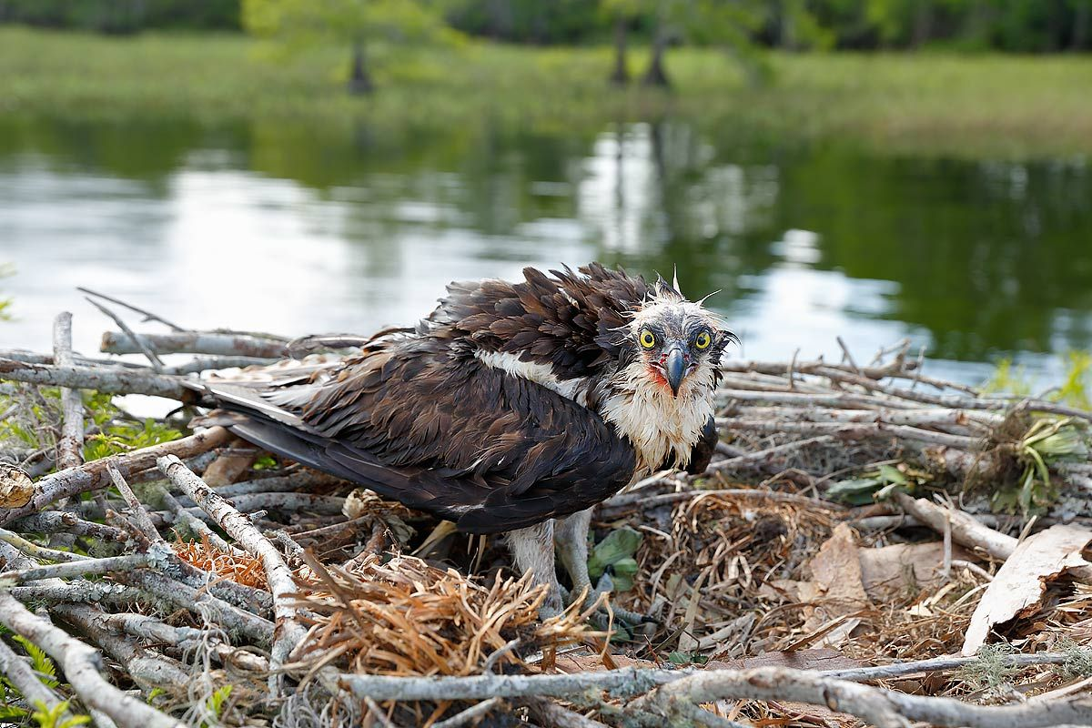 osprey-with-wounds-on-nest-ii_s6a7044-lake-blue-cypress-fl-usa.jpg