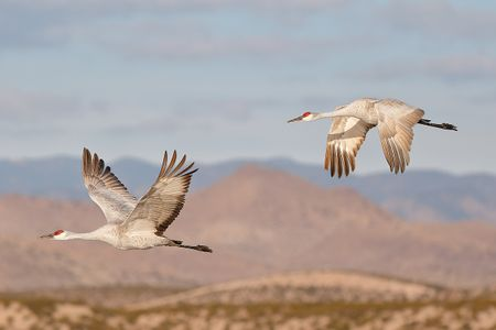 sandhill-cranes-flying-in-sync-with-mountain-bkgd-1_44a0532-bosque-del-apache-nwr-san-antonio-nm-usa.jpg