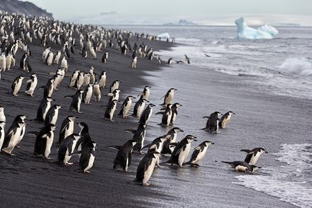 Chinstrap-penguins-entering-the-water-at-Baily-Head_E7T3482-Bailey-Head-Deception-Island-Antarctica.jpg