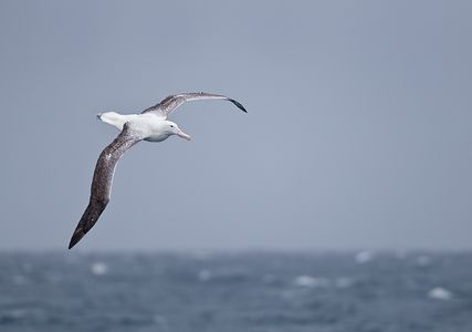 Wandering-Albatross-riding-the-waves_B8R5039-Scotia-Sea-Southern-Atlantic-Ocean.jpg