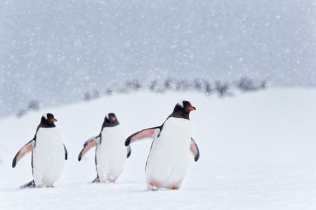 Gentoo penguins marching in the snow_E7T7502-Cuverville Island, Antarctica.jpg