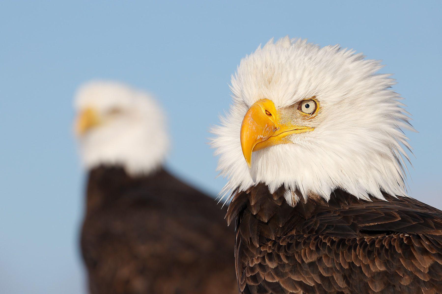 Bald-eagles-juxtaposition_74I4627-Kachemak-Bay,-Alaska,-USA.jpg