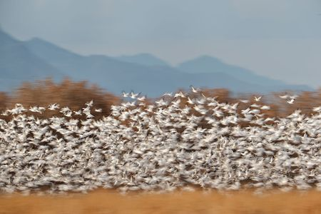 snow-geese-blast-off-against-trees-1_e7t2705-bosque-del-apache-nwr-san-antonio-nm-usa.jpg