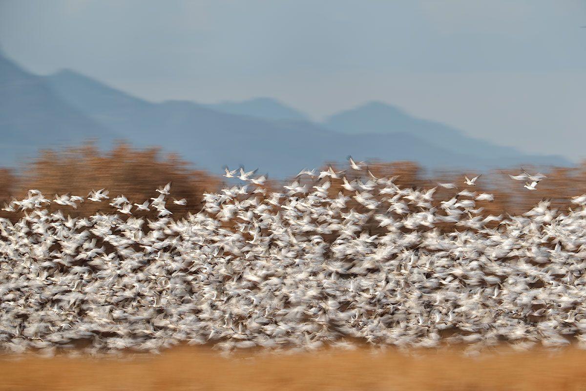 snow-geese-blast-off-against-trees-1_e7t2705-bosque-del-apache-nwr-san-antonio-nm-usa.jpg