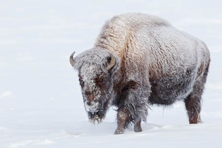 Bison-with-frost-on-body_B8R6150-Yellowstone-National-Park,-WY,-USA.JPG