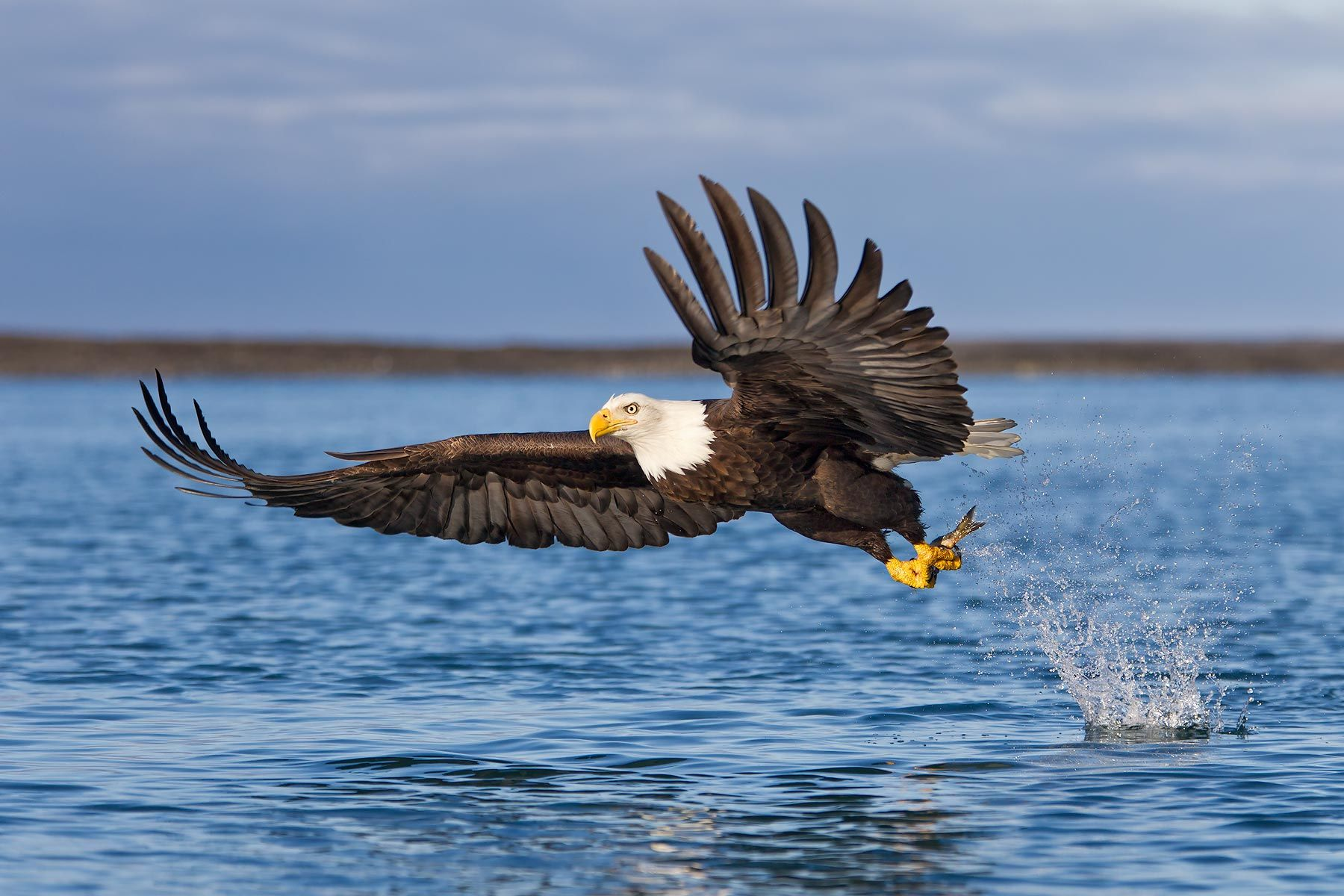 Bald-eagle-catching-fish-wings-forward-spit-bkgd-E07G7825-Kachemak-Bay,-Homer,-AK.jpg