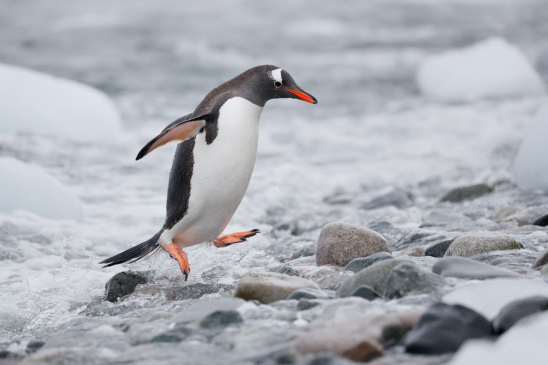 Gentoo-penguin-jumping-out-of-water_A3I9876-Cuverville-Island,-Antarctica.jpg