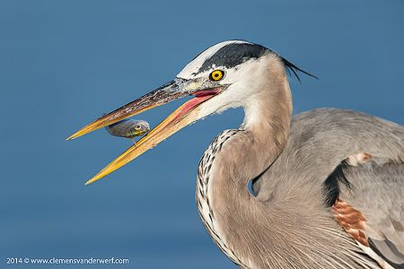 Great-Blue-Heron-with-little-fish-in-mid-air_E7T4461-Estero-Lagoon-Fort-Myers-Beach-USA.jpg