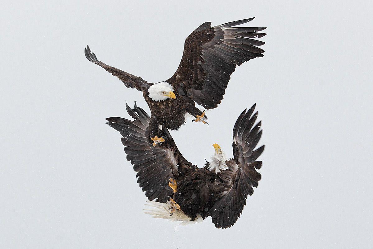 kung-fu-eagles_e07g9186-kachemak-bay-homer-alaska.jpg