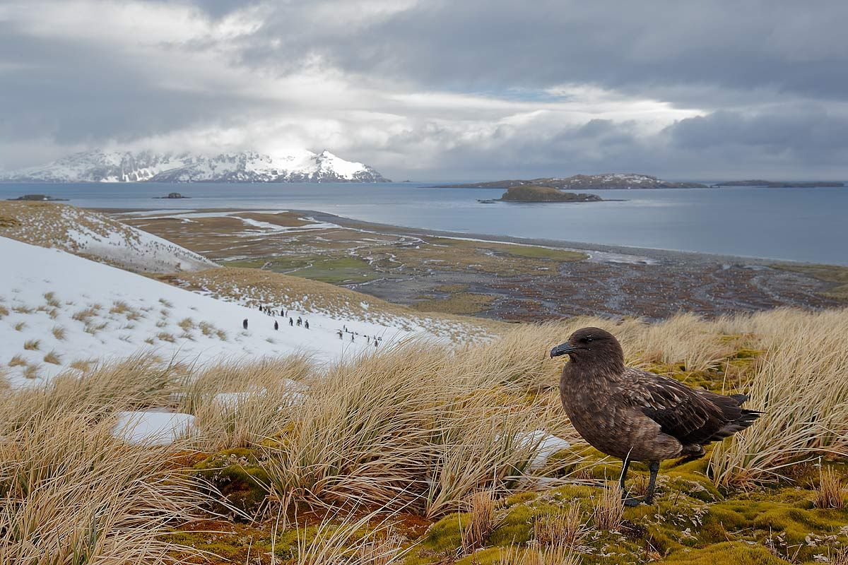 brown-skua-an-a-hill-top_e7t3490-salisbury-plain-bay-of-isles-south-georgia-islands-southern-ocean.jpg