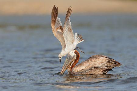 brown-pelican-and-gull-stealing-fish_b8r9294-alafia-banks-gibsonton-fl-usa2.jpg