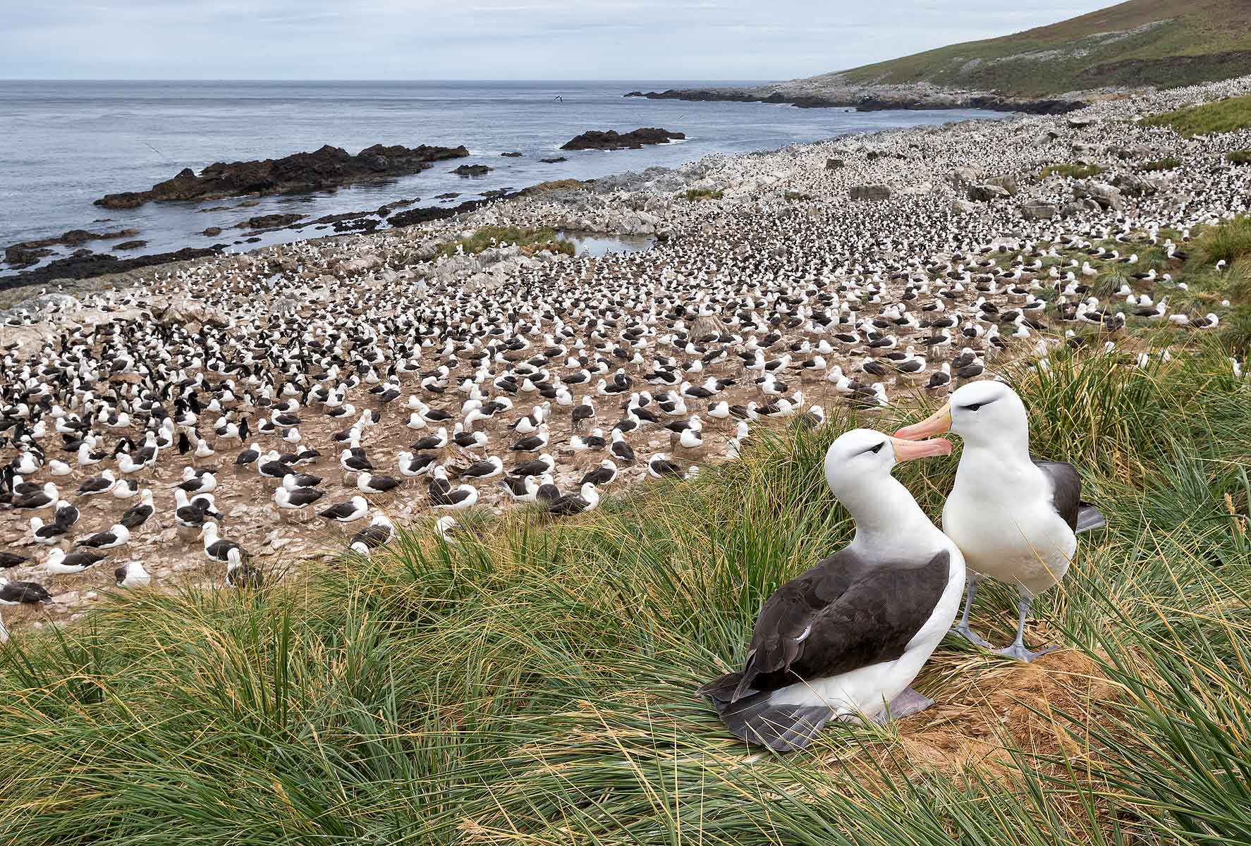 Black-browed-Albatrosses-on-th-edge-of-the-colony_E7T4768-Steeple-Jason,-Falkland-Islands.jpg