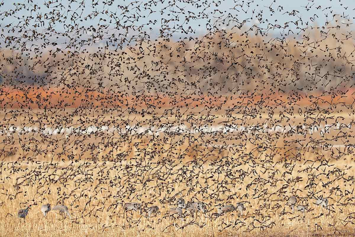 red-wing-blackbirds-blast-off-with-sandhill-cranes-and-snow-geese-1_e7t4742-bosque-del-apache-nwr-san-antonio-nm-usa.jpg