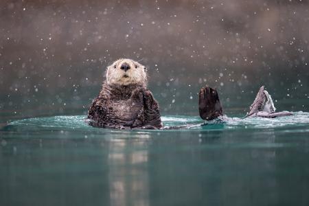 Sea otter in blue green water with snow_B8R9450-Kachemak Bay, Homer, AK.jpg