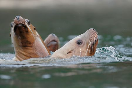 Sea Lions gathering at Sadie Cove_B8R6913-Kachemak Bay, Homer, Alaska, USA.jpg