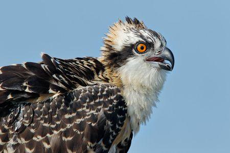 osprey-chick-head-portrait-with-blue-sky_44a1265-lake-blue-cypress-fl-usa.jpg