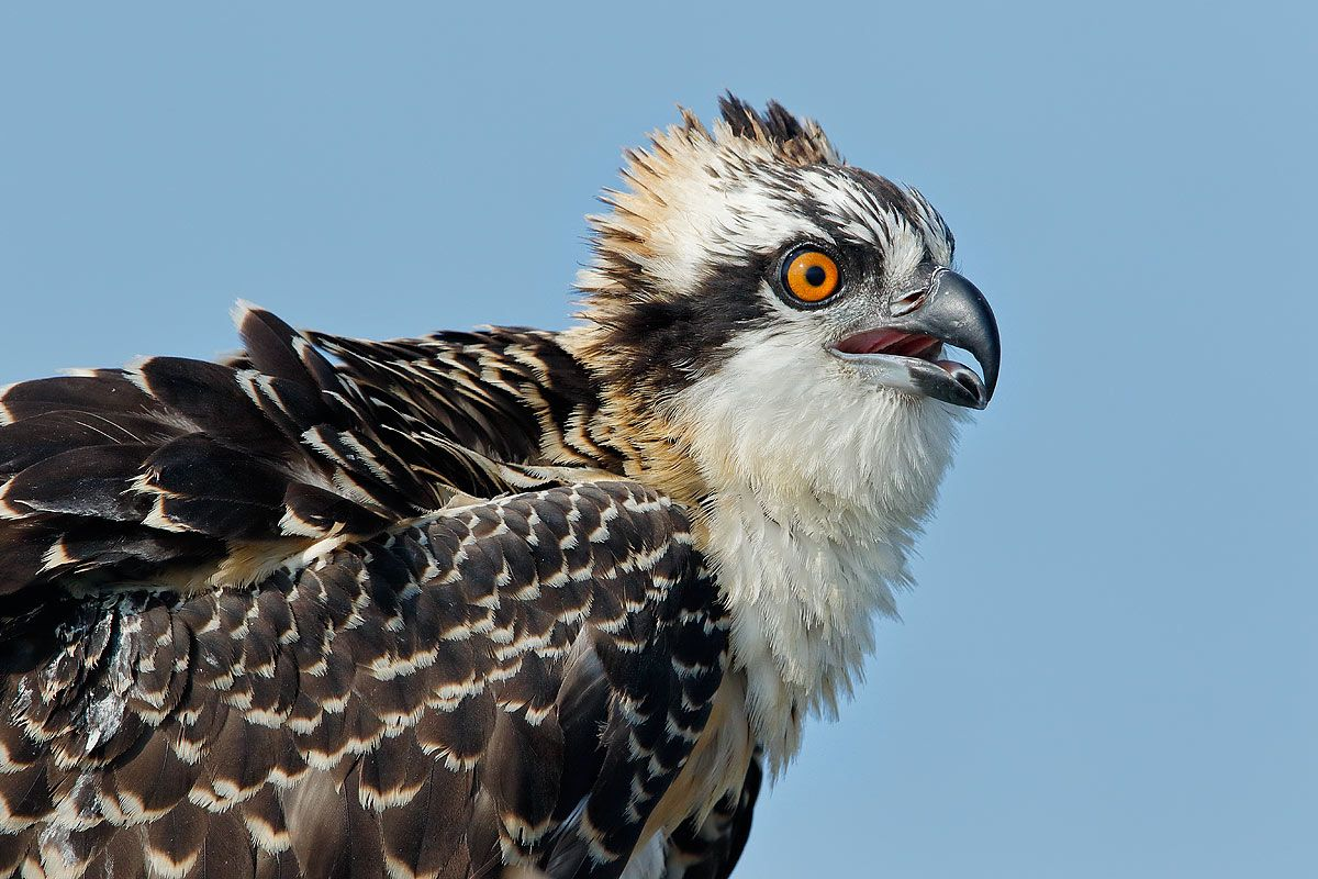 osprey-chick-head-portrait-with-blue-sky_44a1265-lake-blue-cypress-fl-usa.jpg