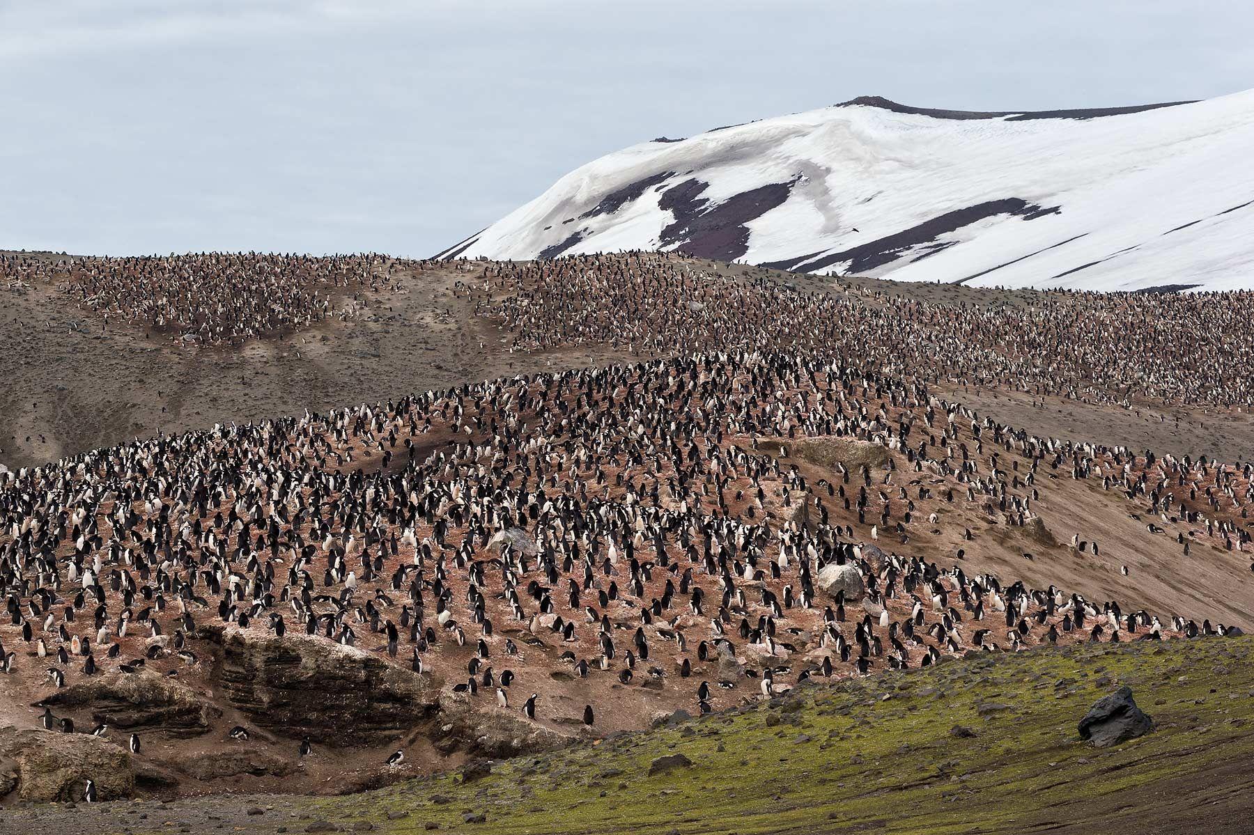 Chinstrap-Colony-at-Bailey-Head_E7T3910-Bailey-Head,-Deception-Island,-Antarctica.jpg