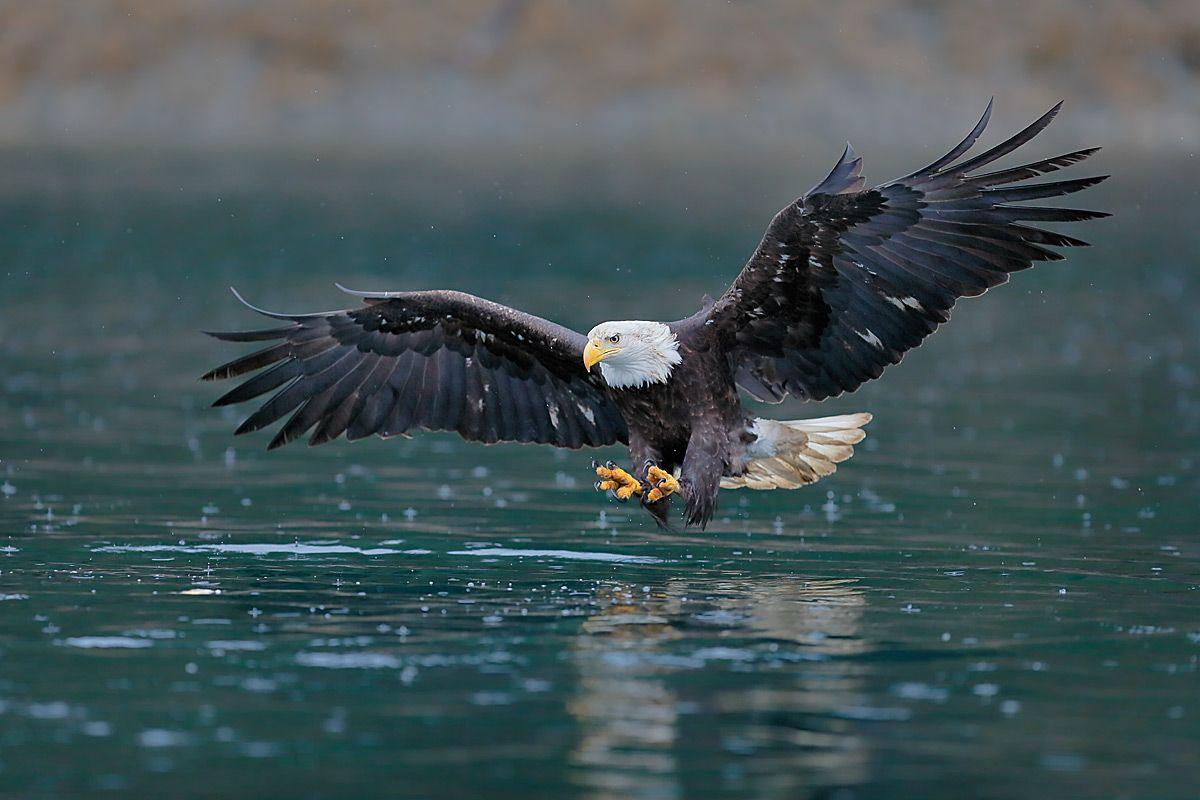 bald-eagle-fishing-wings-wide-and-green-water_b8r9191-kachemak-bay-homer-alaska-usa.jpg