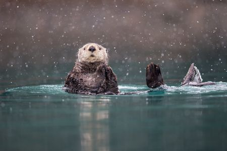 Sea otter in blue green water with snow_B8R9450-Kachemak Bay, Homer, AK.jpg