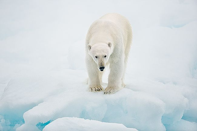 Polar-bear-on-sea-ice-standing-strong_B8R4896-Sea-ice-at-81-degree-North-Svalbard-Arctic.jpg