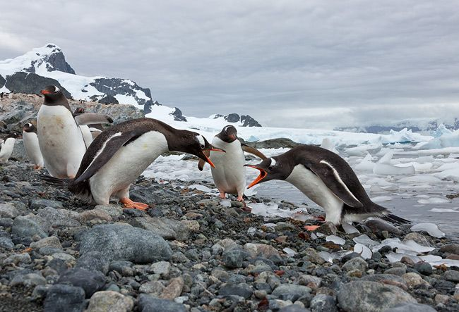 Gentoo-Penguins-arguing-with-each-other_S6A8370-Cuverville-Island-Antarctica.jpg