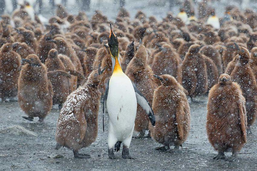 king-penguin-oakum-boy-begging_b8r4400-gold-harbour-south-georgia-islands-southern-ocean.jpg