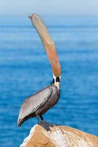 Brown-pelican-head-throw-with-pouch-visible-III_E7T9521-La-Jolla-Cliffs-La-Jolla-USA.jpg