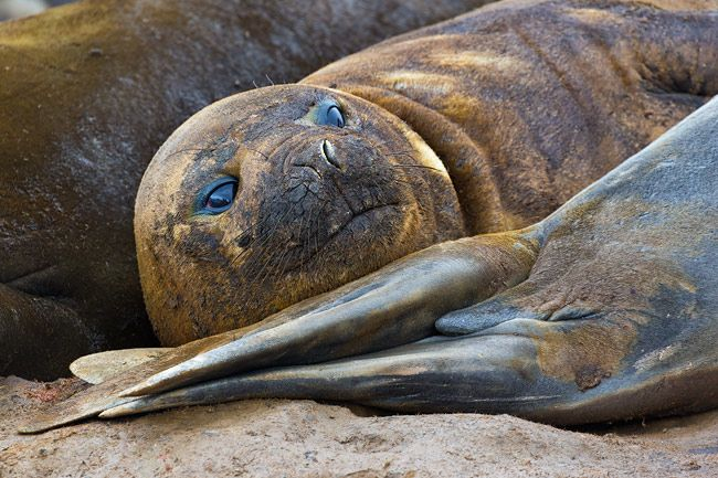 Elephant-Seal-molting-among-others_E7T6781-Hannah-Point-South-Shetland-Islands-Antarctica.jpg