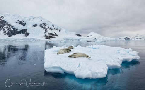 Crabeater-Seals-on-ice-flow_S6A9314-Paradise-Bay-Antarctica.jpg