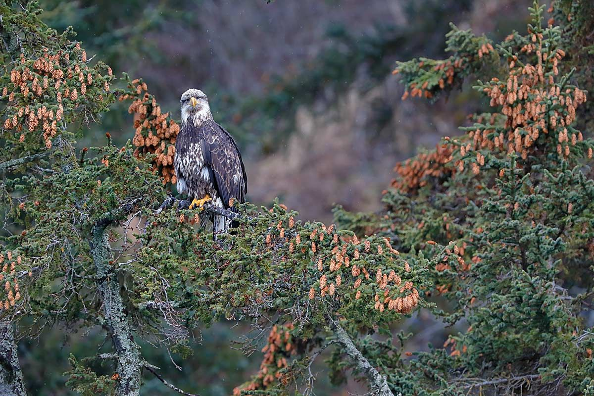 bald-eagle-immature-in-tree-with-pine-cones_b8r9656-kachemak-bay-homer-alaska-usa.jpg