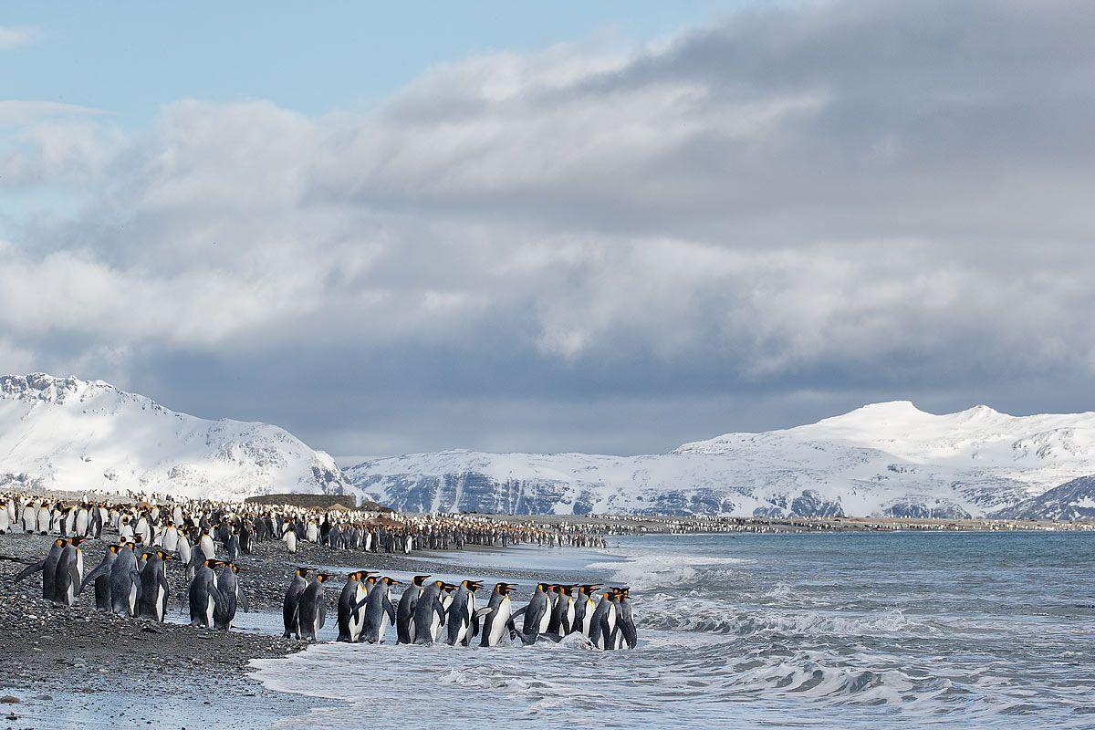 king-penguins-line-into-the-water_e7t3334-salisbury-plain-bay-of-isles-south-georgia-islands-southern-ocean.jpg