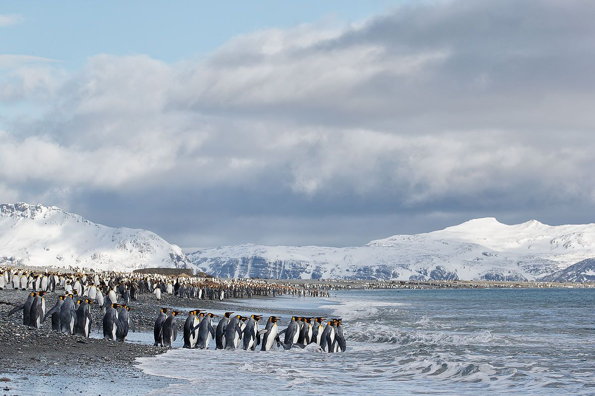 king-penguins-line-into-the-water_e7t3334-salisbury-plain-bay-of-isles-south-georgia-islands-southern-ocean.jpg