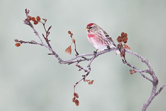 Common-Redpoll-on-a-branch-with-light-green-bkgd_E7T7999-Anchor-Point-AK.jpg