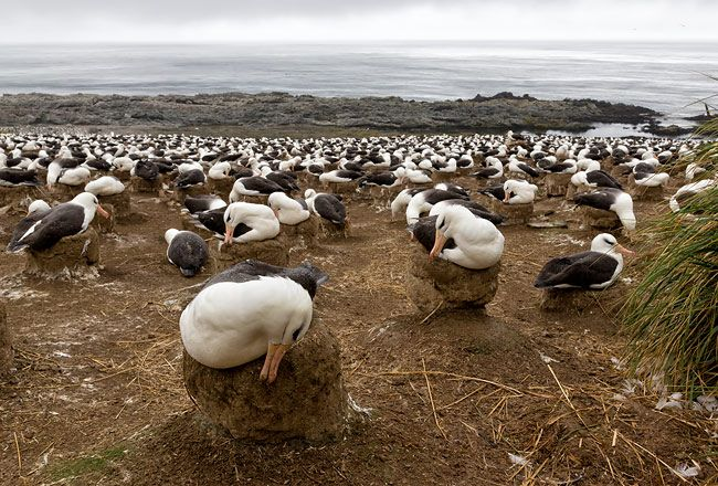 Black-bowed-Albatrosses-working-on-the-nests-E7T4986-Steeple-Jason-Falkland-Islands.jpg