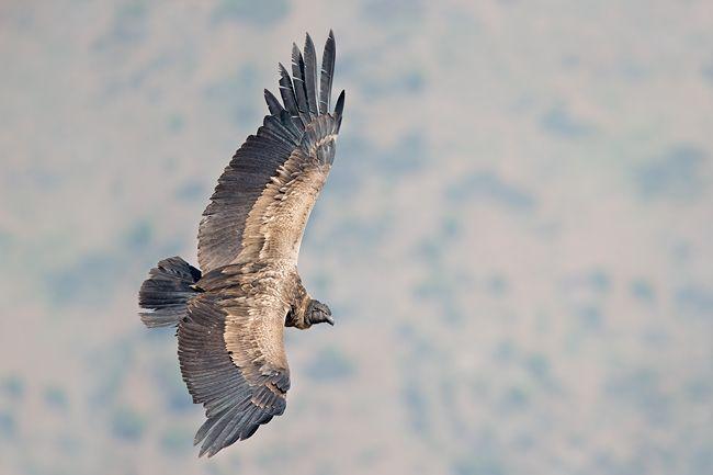 Andean-Condor-Juvenile-against-mountain-bkgd_E7T0291-Farellones-Los-Andes-Chile3.jpg