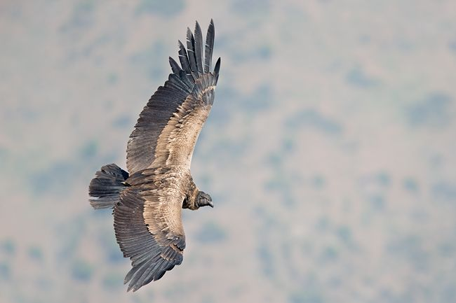 Andean-Condor-Juvenile-against-mountain-bkgd_E7T0291-Farellones-Los-Andes-Chile3.jpg