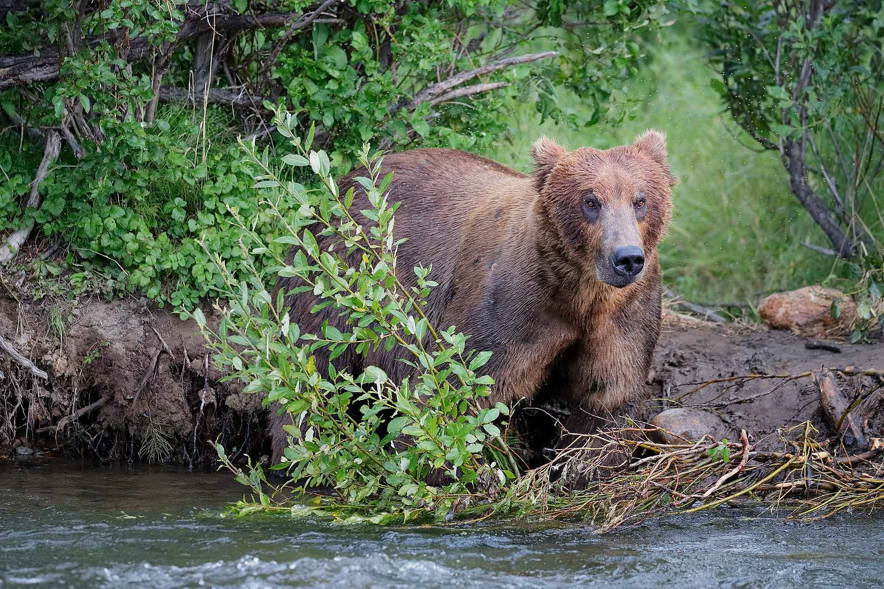 Coastal-brown-bear-looking-for-salmon_A3I7333-Alagnak-River,-Katmai-National-Park-&-Preserve,-AK,-USA.jpg