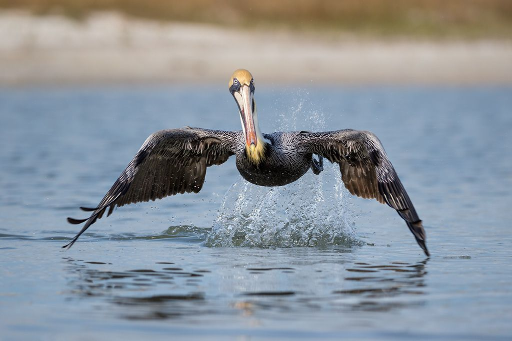 Brown-pelican-take-off-with-splash_E7T2835-Estero-Lagoon-Fort-Myers-Beach-USA.jpg