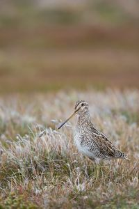 Magellanic-Snipe-in-grassy-environment_E7T3202.jpg