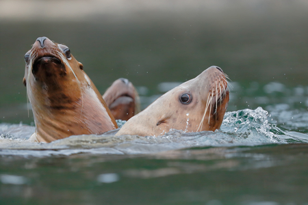 Sea Lions gathering at Sadie Cove_B8R6913-Kachemak Bay, Homer, Alaska, USA.jpg