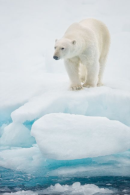 Polar-bear-standing-on-sea-ice-vertical_B8R4905-Sea-ice-at-81-degree-North-Svalbard-Arctic.jpg