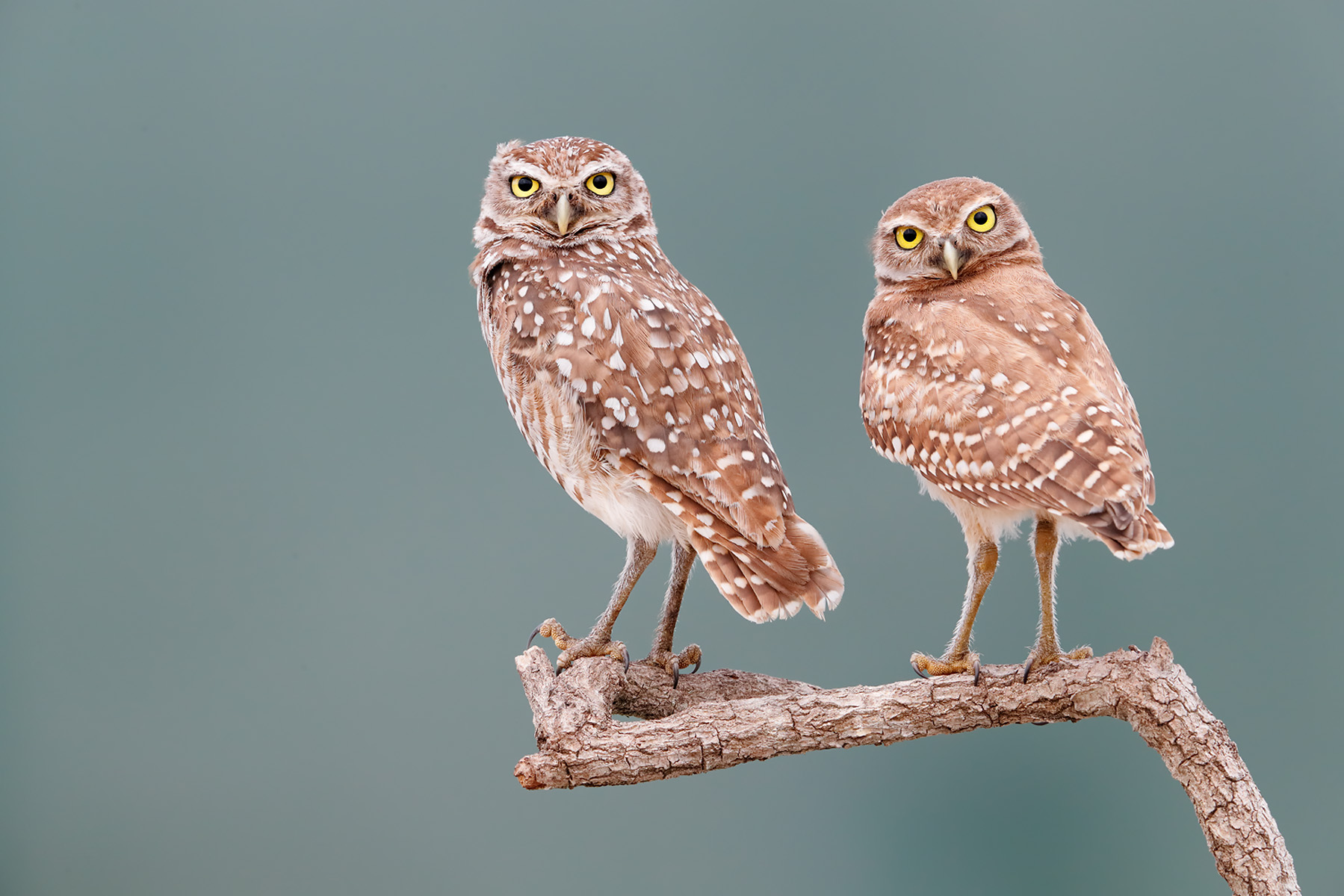Burrowing owls on perch with turquois bkgd II_A3I0268-Boca Raton Airport, FL, USA.jpg