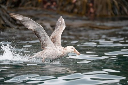 southern-giant-petrel-taking-off_a3i6078-cooper-bay-south-georgia-island.jpg